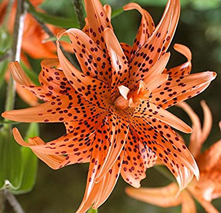 Amazon Com Double Tiger Lily Beautiful Orange Flowering Bulb
