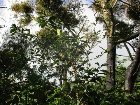 5LBS Guatemala Fincas Las Minas Unroasted Green Coffee Beans