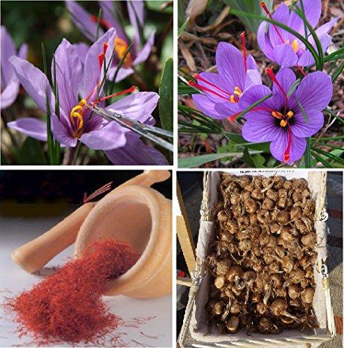 aa9e09b3285bc1 Saffron Bulbs Crocus Sativus Flowers Corms Original Turkey Bulbs Plant 25  Bulbs