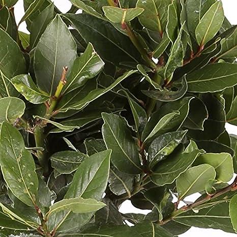 Laurel Comestible - Maceta 14cm. - Altura total aprox. 40cm. - Planta viva - (Envíos sólo a Península): Amazon.es: Jardín