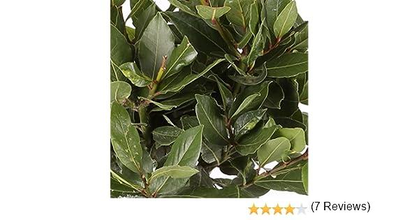 Laurel Comestible - Maceta 14cm. - Altura aprox. 40cm. - Planta viva - (Envíos sólo a Península)