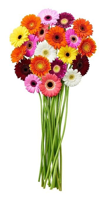 Amazon Kabloom Rainbow Gerbera Daisy Mixed Bouquet Of 20 Mini