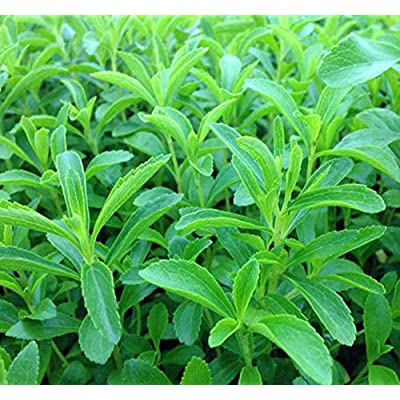hot sale stevia rebaudiana seeds sweet leaf flowers potted plant for home and garden balcony green herb seeds flower bonsai nice : Garden & Outdoor