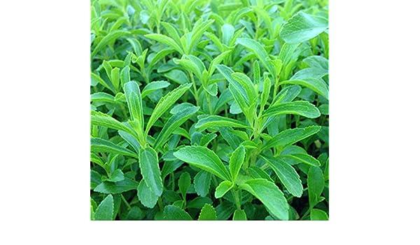 semillas de stevia rebaudiana venta caliente dulces flores en ...