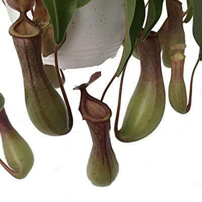 "Asian Pitcher Live Plant Nepenthes Carnivorous Exotic 6""Hanging Basket Garden - USA_Mall : Garden & Outdoor"