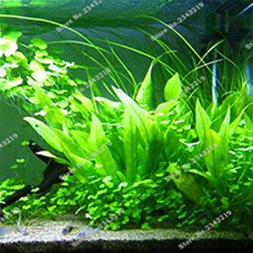 1000 pcs bag fern moss live aquarium plants seeds fish for Koi pond plants for sale