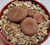 Lithops Aucampiae Koelemanii Small Cluster