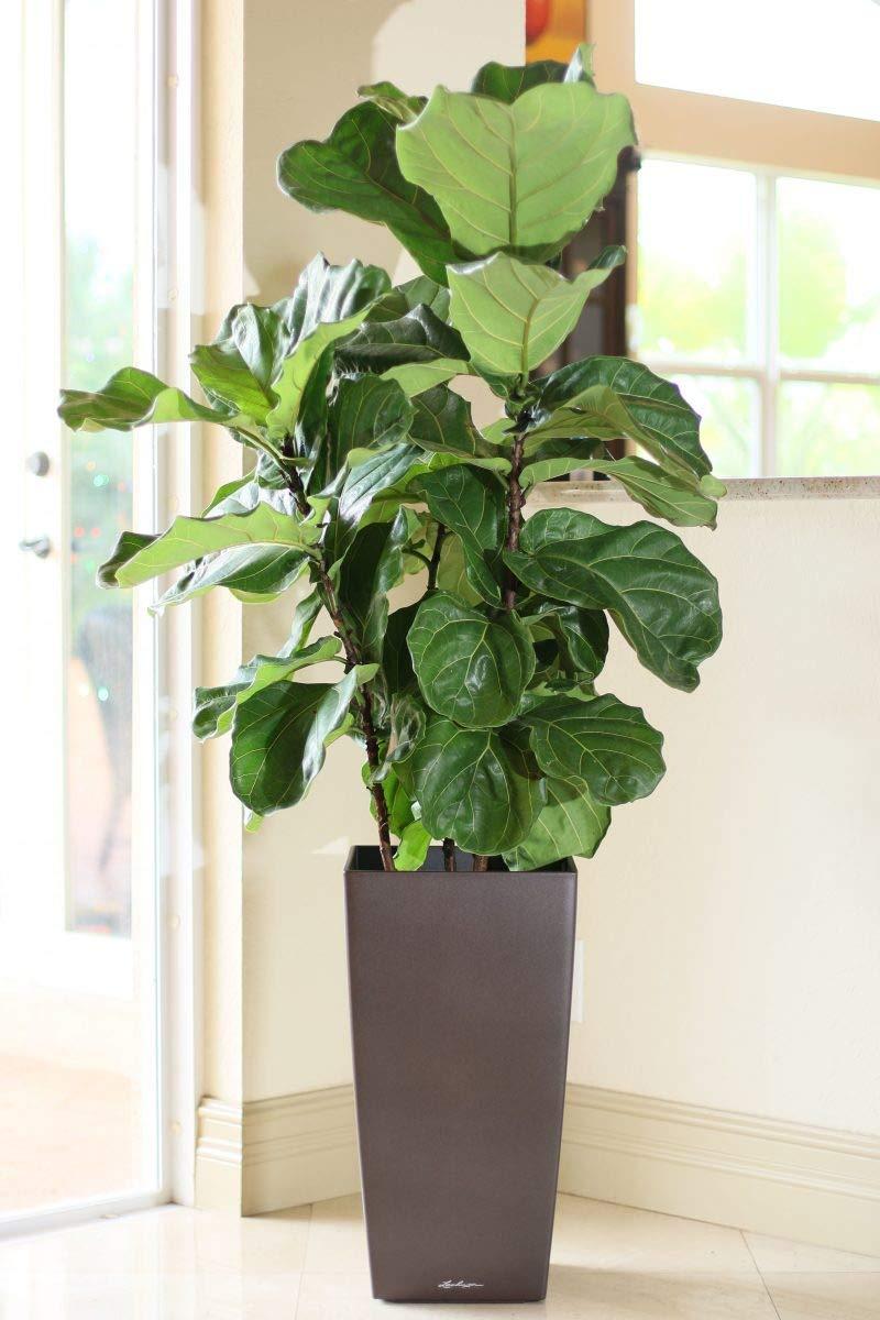 PlantVine Ficus lyrata, Fiddle Leaf Fig - XL (4-5ft), Bush - 12-14 Inch Pot (7 Gallon), Live Indoor Plant