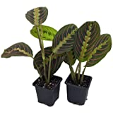 "Hirt's Red Prayer Plant - 2 Pack - Maranta - Easy to Grow House Plant - 3"" Pots"