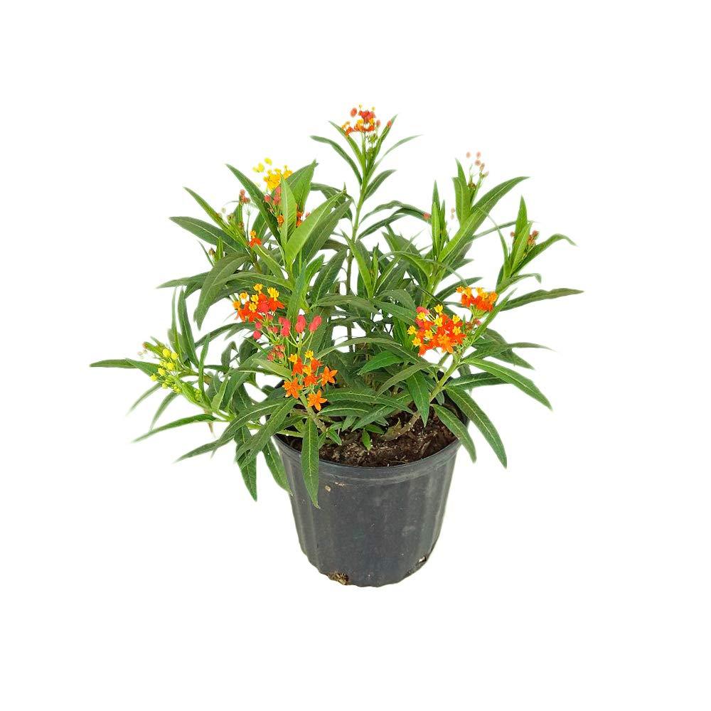 PlantVine Asclepias spp, Milkweed, Butterfly Flower - Large - 8-10 Inch Pot (3 Gallon), Live Plant by PlantVine (Image #1)