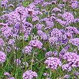 Home Garden Plant 100 Seeds Verbena Officinalis PURPLE TOP VERVAIN Verbena Bonariensis SEEDS