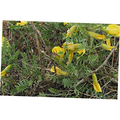 CJI 5 Seeds Caragana microphylla Little Leaf Siberian Pea Shrub - RK37 : Garden & Outdoor