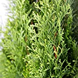 Plants by Mail 2.5 Qt - Emerald Green Arborvitae(Thuja occidentalis), Live Evergreen Shrub/Tree