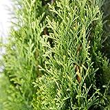 Plants by Mail 2.5 Qt - Emerald Green Arborvitae(Thuja occidentalis), Live Evergreen Shrub/Tree