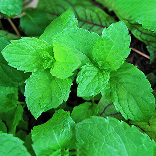 XIAOMU 1000pcs Rare Mint Peppermint Herb Seeds Aroma Aromatic Mentha Viridis