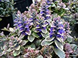 1 STARTER PLANT of Ajuga Burgundy Glow - Pot