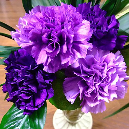 Afco 100Pcs Purple Carnation Dianthus Caryophyllus Flower Seeds Home Garden Decor Wonderful Gardening (Purple Pumpkin)