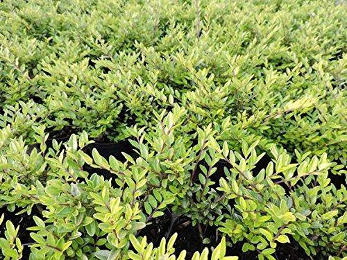 100 Stk. Heckenmyrte 'Maigrün' - (Lonicera nitida 'Maigrün')-Bodendecker im Topf 20-30 cm