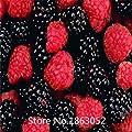 100nutritious Pre-Stratified Jumbo Thornless Blackberry Seeds, juicy , sweet ,seeds fruit Flower Seeds