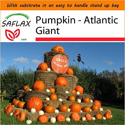 SAFLAX - Garden in the Bag - Pumpkin - Atlantic Giant - 7 seeds - Cucurbita - In County Block Orange The