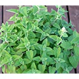Catnip Herb Seeds- Your cat will love you- 200+ Seeds