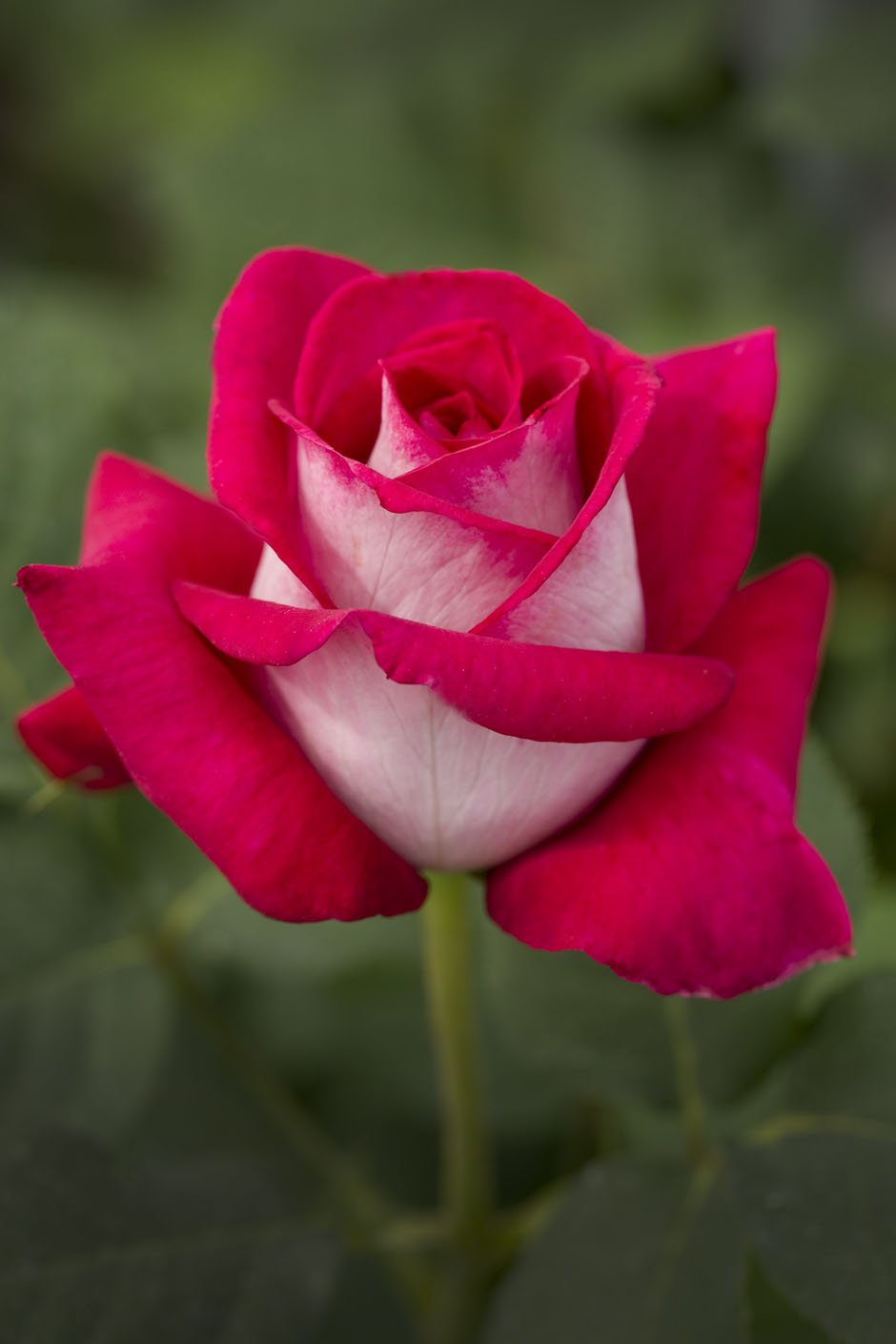 ANIS PERFUMELLA (aka Monica Bellucci) - 4lt Potted Hybrid Tea Garden Rose Bush - Stunning Pink & White Rose, Fragrant - Unusual Variety