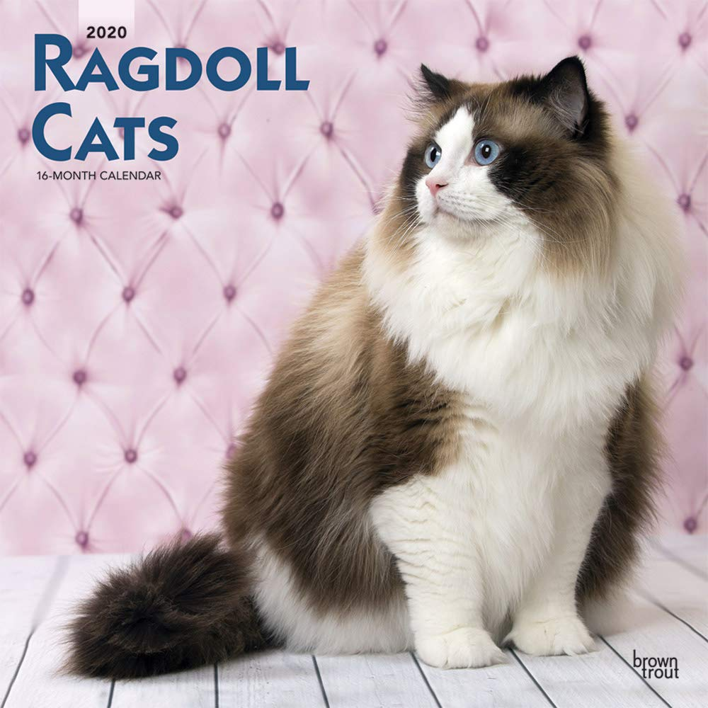 Ragdoll Cats 2020 Square Wall Calendar Amazon Co Uk Browntrout Publishers Ltd 9781975409371 Books
