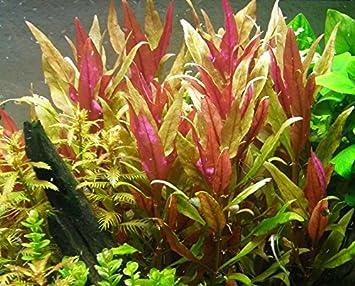 Alternanthera rosaefolia - 1 Bunch - Plantas para acuarios: Amazon.es: Productos para mascotas