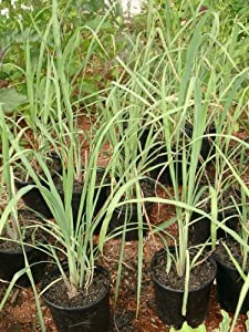 lemongrass rootstalk cymbopogon citratus bareroot plant by thai greenhouse toys. Black Bedroom Furniture Sets. Home Design Ideas