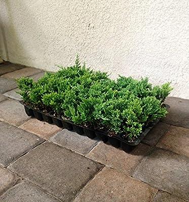 Amazon Com Blue Rug Juniper Qty 60 Live Plants Evergreen Ground