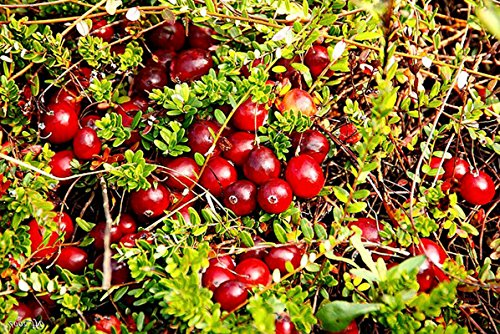 Organic Dried Cranberries, 25 Pounds — Non-GMO, Kosher, Unsulfured, Bulk by Food to Live (Image #5)