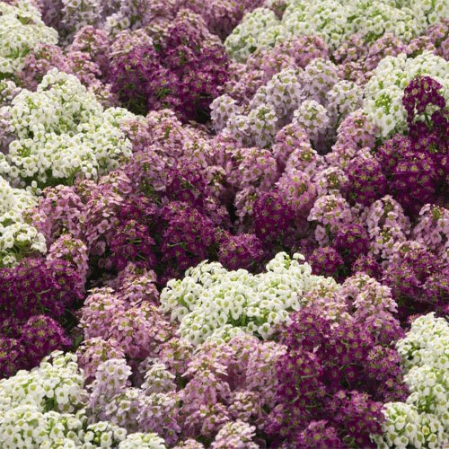 Outsidepride Alyssum Mulberry Mix Ground Cover Seed - 2000 Seeds