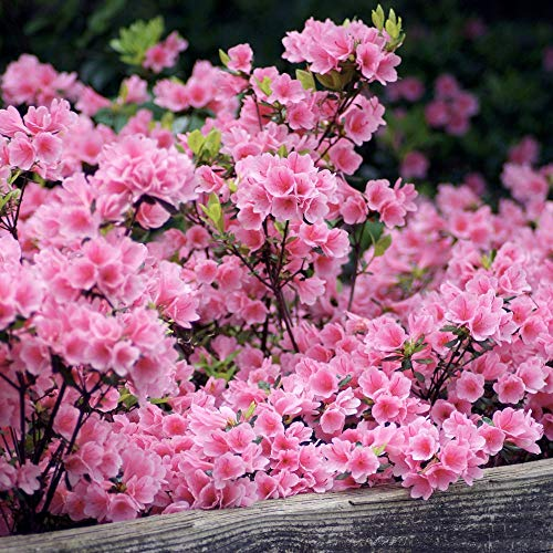 Cottage Hill Azalea 'Pink Ruffle' - 2 Piece Live Plant Blooms