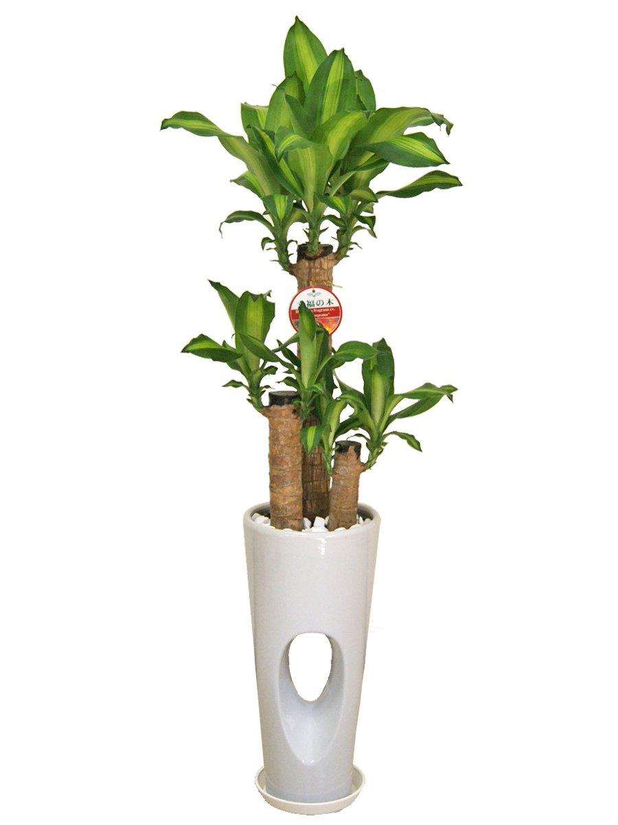 観葉植物 幸福の木(ドラセナ)7号穴高陶器鉢(白) B00L8V47GI  白