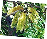 Seeds Prosopis Chilensis Shade Tree 8 Seeds, Chilean Mesquite Fodder