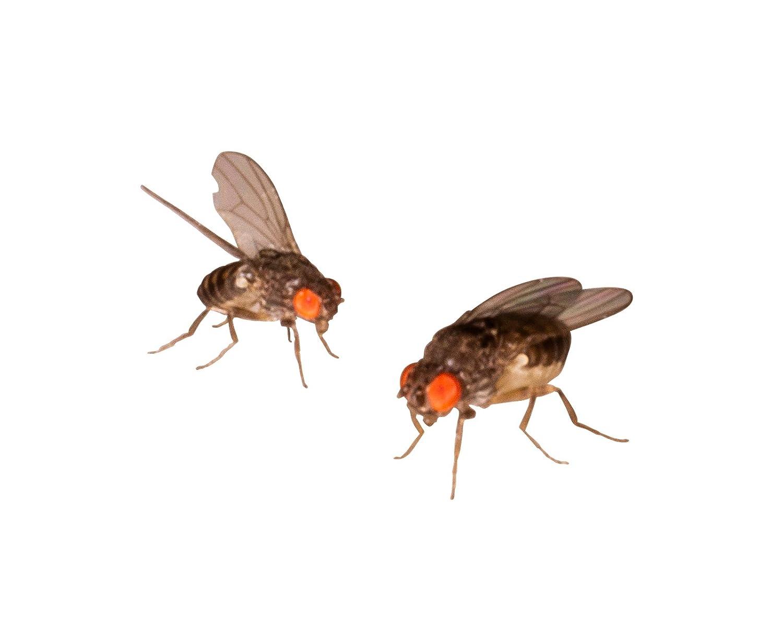 1 Dose Terfly, Krullfliegen Zuchtansatz 500ml praktisch verpackt, Futterinsekten Futtertiere 1L/6,98EUR Feeders & more
