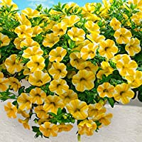 Bio Garden - Rare 20pcs Calibrachoa Kabloom Yellow Seeds Easy to Grow, Exotic Flower Seeds Hardy Perennial Garden