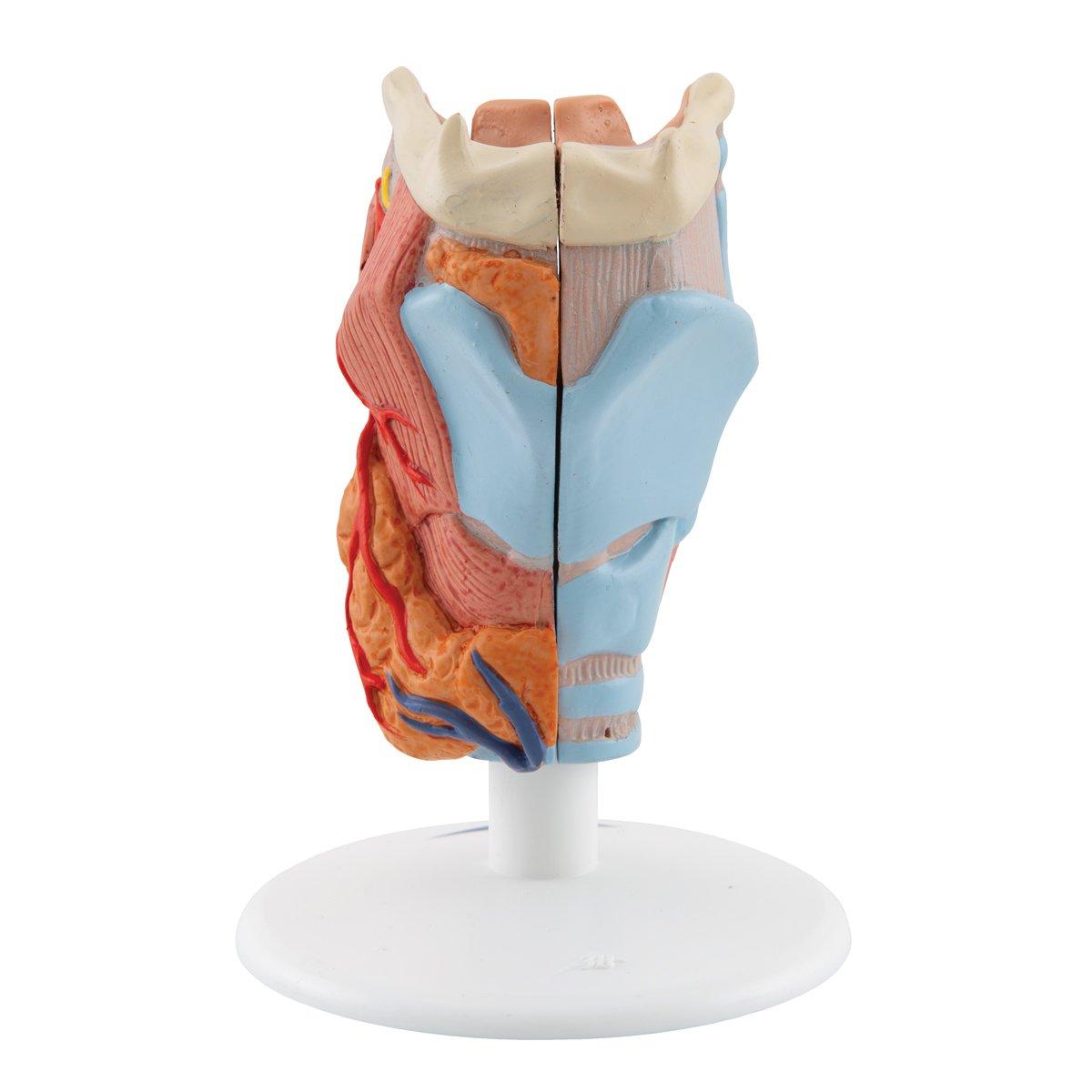 3B Scientific Larynx, 2-Part