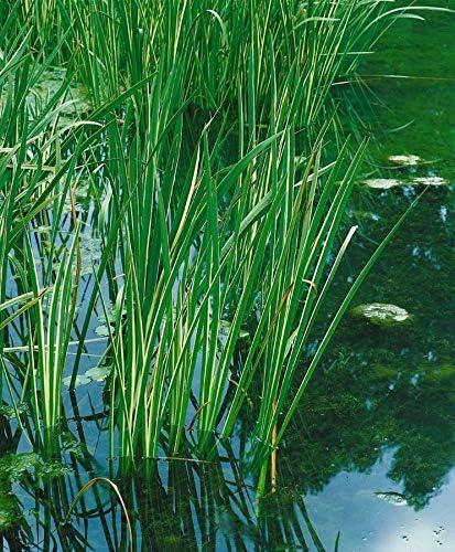 Wasserpflanze Acorus calamus Kalamus Teichpflanze T9x9