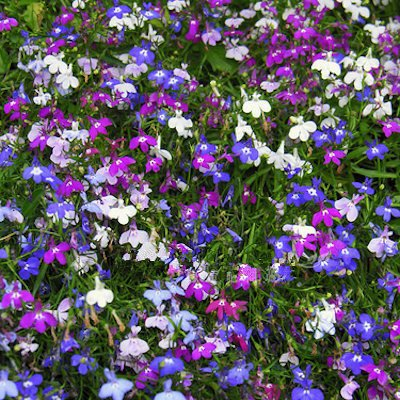 Lobelia Erinus Seeds 200pcs Flowers Seeds DIY New Home Garden Bonsai Mix color Beautiful Flowers SVI
