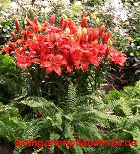10 getopfte Pflanzen rot blühend in Gärtnerqualität, mindestens 3 Sorten, roter Garten