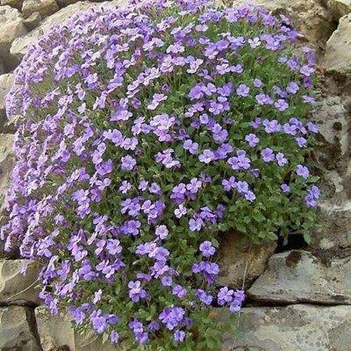 Rockcress Pale Blue Flower Seeds (Aubrieta Hybrida Graeca) 100 Seeds