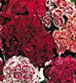 """Dianthus (dianthus Barbatus) """"sweet William Tall Double Mix"""" Sweet Scented Carnation Type Clusters On Tall Stalks Approx 200 Seeds"""