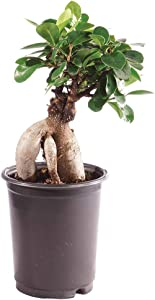Brussel's Bonsai Live Gensing Grafted Ficus Indoor Bonsai Tree - 4 Years Old 6