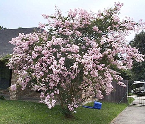 LARGE NEAR EAST CRAPE MYRTLE, 2-4ft Tall When Shipped, Matures 8-10ft, 1 Tree, Delicate Light Pink Flowers, (Shipped Well Rooted in Pots with Soil) Review
