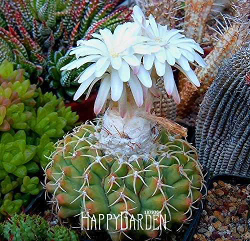 Best-Selling!Cactus Flowers 100pcs/Pack Cactus plant seed Rare plant seeds Foliage magical garden & home Semillas Flora,#91UNB3