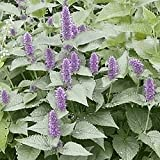 Everwilde Farms - 2000 Purple Giant Hyssop Native Wildflower Seeds - Gold Vault Jumbo Seed Packet