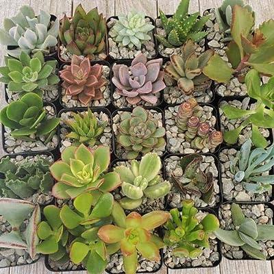 2 inch Assorted Succulents 25 Pack : Garden & Outdoor