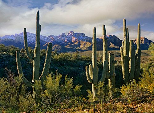 Posterazzi Poster Print Collection Saguaro Cacti and Santa Catalina Mountains Arizona Tim Fitzharris, (9 x 12), Multicolored