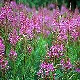 Fireweed- Willowherb- 100 seeds